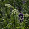 Delphinium nuttallianum - Twolobe larkspur