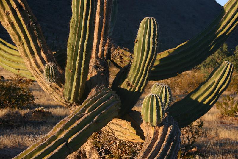 Cordon Cactus