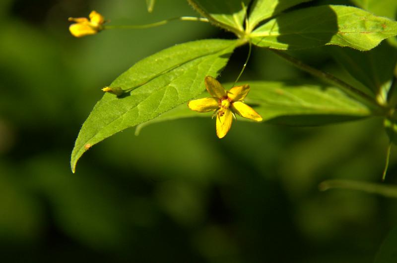 Primulaceae - <br /> Lysimachia quadrifolia - Whorled Loosestrife