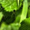 Leucauge venusta - Orchard Orbweaver