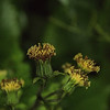 Arnica acaulis - Common leopardbane