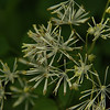 Trautvetteria caroliniensis - False Bugbane
