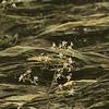 Saxifragaceae - <br /> Saxifraga michauxii - Michaux's Saxifrage