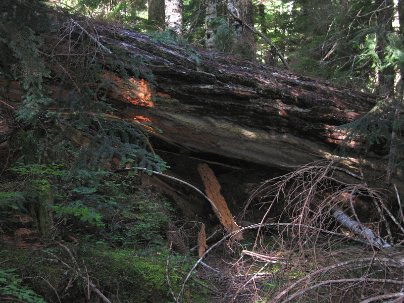 Day 7: Blow down across the trail. There are some damn big Douglas Fir and Cedar trees here that make climbing over or going around blow downs a bit difficult.