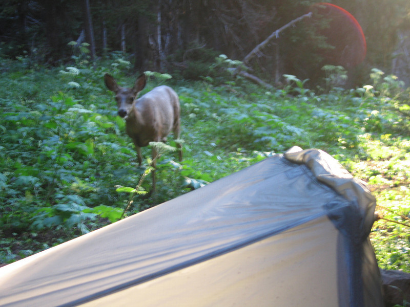 Day 2: Camped beside the trail without water again. Had several deer browsing within 10 feet of my tarptent throughout the night. They seem to like the salt in my urine.