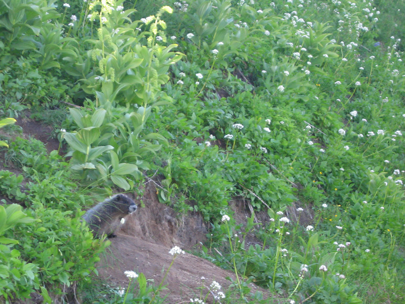 Day 7: A hoary marmot peaking out of its hole.
