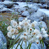 Anaphalis margaritacea - Pearly Everlasting by Basin Creek