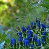 Gentianaceae - <br /> Gentiana sceptrum - King Gentian