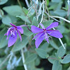 Onagraceae - <br /> Chamerion latifolium - Broad-leaved Willowherb