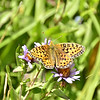 Speyeria cybele - Great Spangled Frittilary