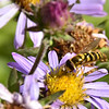 Syrphidae - Hoverfly