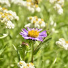 Aster and Pearly Everlasting (Anaphalis margaritacea)