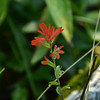 Orobanchaceae - <br /> Castilleja miniata - Common Indian Paintbrush
