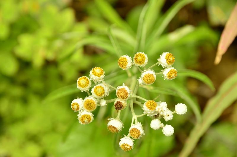 Anaphalis margaritacea - Pearly Everlasting