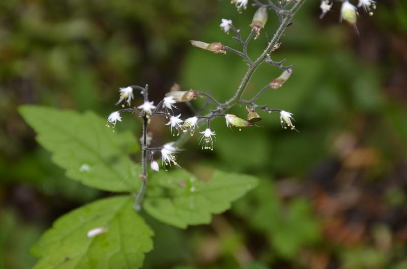 Saxifragaceae - <br /> Tiarella trifoliata - Foamflower, Triple sugar scoop