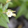 Onagraceae - <br /> Epilobium luteum - Yellow Willowherb