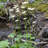 Celastraceae - <br /> Parnassia fimbriata - Fringed Grass-of-Parnasus