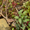 Ericaceae - <br /> Chimaphila menziesii - Mensies' Pipsissewa or Little Prince's Pine