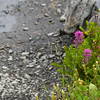 Orobanchaceae - <br /> Castilleja parviflora - Magenta Paintbrush next to Hoh Lake