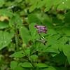 Papaveraceae - <br /> Corydalis scouleri - Scouler's Corydalis