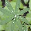 Fabaceae - <br /> Lupinus - Lupine leaf with dew