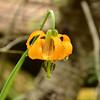 Lilium columbianum - Tiger Lily