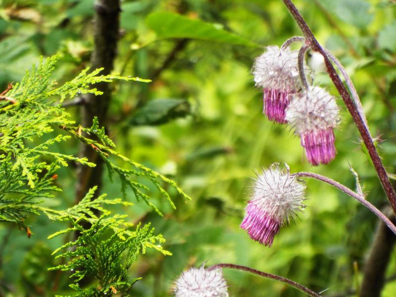 Cirsium edule - Edible Thistle