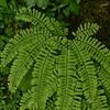 Maidenhair fern (Adiantum pedatum)