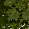 Bigleaf Maple (Ace macrophyllum) leaves