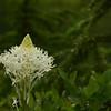 Melanthiaceae - <br /> Xerophyllum tenax - Beargrass