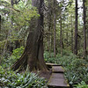 Moss covered platform trails on the Cape Alava Trail