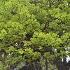 Acer macrophyllum - Bigleaf Maple