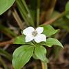 Cornaceae - <br /> Cornus canadensis - Bunchberry, Dwarf Dogwood