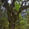 Beautiful moss covered Bigleaf Maple (Acer macrophyllum).