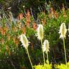 Anemone occidentalis - Western Pasqueflower fruit