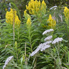 Achillea millefolium - Yarrow and<br /> Solidago - Goldenrod