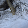 Ariolimax dolichophallus - Slender Banana Slug