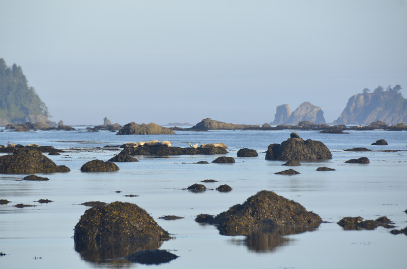 The tide is going out and the Harbor Seals staying put, must be enjoying the morning sun.