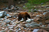 Photographed by: Edison Husana<br /> This is the last bear we saw on our trip. As we are heading back to the trailhead and probably between 7:30 pm to 8:00 pm and nearing the junction to the road's end(South Fork) and the footbridge.