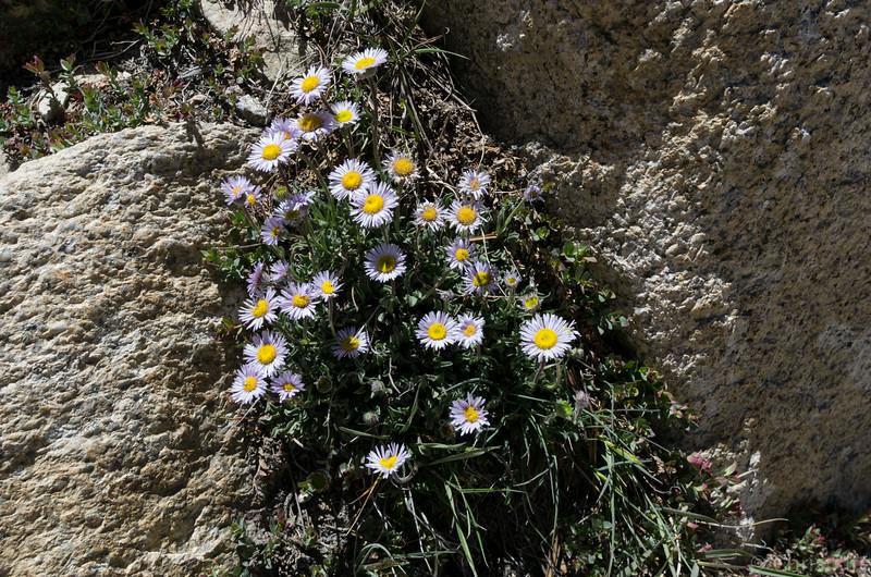Flowers growing near 12k ft elevation