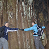2013-05-23<br /> The Big Tree, it is one of the champion trees. 363 feet tall, 53.2 feet in circumference, and the average crown spread is 62 feet.