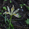 Iris chrysophylla - Yellowleaf iris