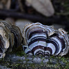 Sterum ostrea - False Turkeytail