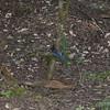 Cyanocitta stelleri  - Steller's Jay