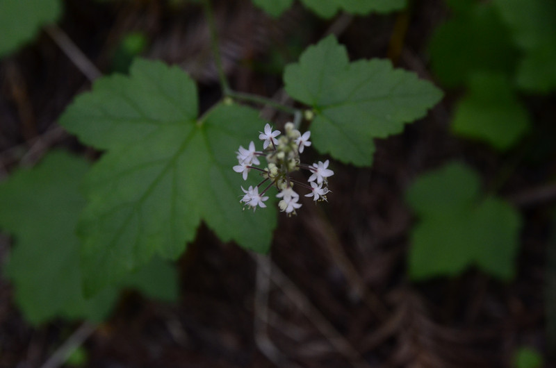 Saxifragaceae - <br /> Tiarella trifoliata - Foamflower, Triple sugar scoop