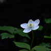 Anemone deltoidea - Columbian windflower