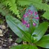 Clintonia andrewsiana - Andrew's Clintonia, Red Bead Lily