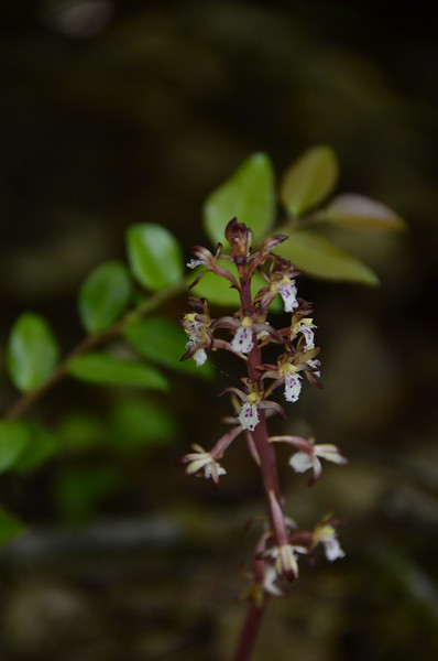 Corallorrhiza maculata - Spotted coralroot