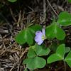 Oxalidaceae - <br /> Oxalis - Wood sorrel