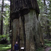 This tree was called the Girdled Tree. The bark was stripped in 1901 and reassembled to show a cast of the tree for the Epworth League convention. And the tree still lives.